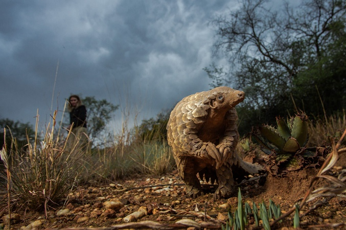 Pangolins on the Edge of Extinction: A Victim Designated Guilty